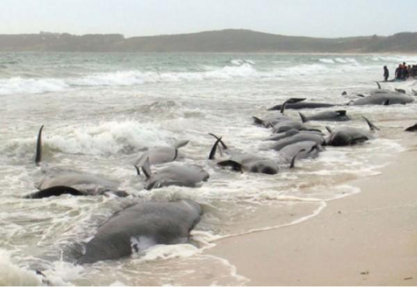 Giappone: moria di balene