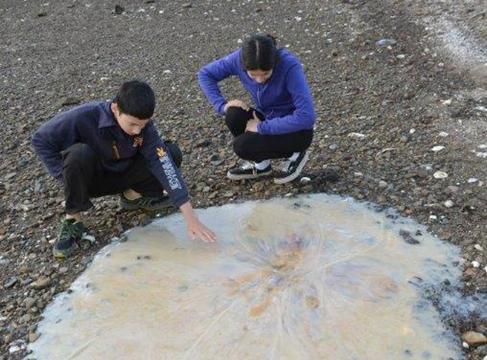 Tasmania: ritrovata una medusa gigante