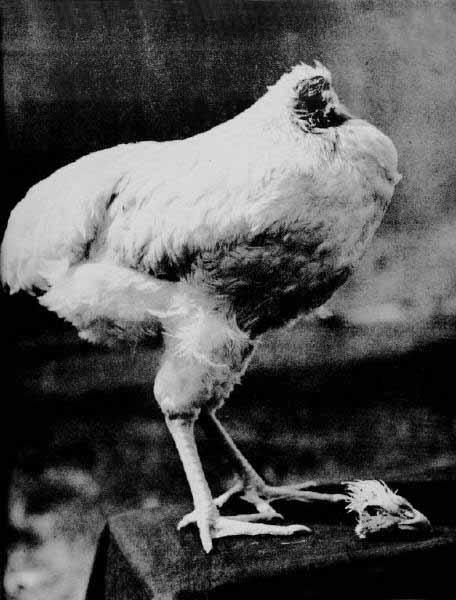 Mike il pollo vivo senza Testa